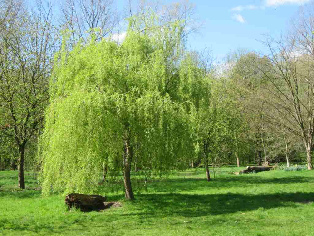 weeping willow tree for sale in the uk