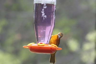 oriole at nectar feeder