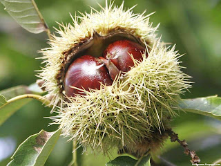 American chestnut fruit images wallpaper