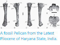 https://sciencythoughts.blogspot.com/2014/11/a-fossil-pelican-from-latest-pliocene.html
