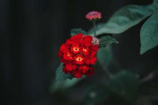 ورد احمر فى المغرب