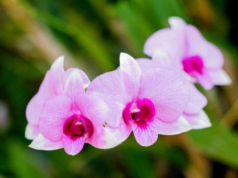 petua orkid subur cepat berbunga
