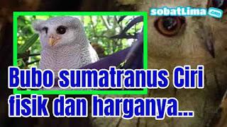 burung hantu,bubo sumatranus,bubo sumatranus putih,bubo sumatranus harga,bubo ketupu,burung hantu bubo sumatranus juve,burung hantu bubo harga,burung hantu bubo sumatranus dan harga,burung hantu bubo dan harga,makanan burung hantu bubo,jenis burung hantu bubo,usia burung hantu bubo sumatranus,harga burung hantu bubo anakan,burung hantu bubo sumatranus,burung hantu bubo putih