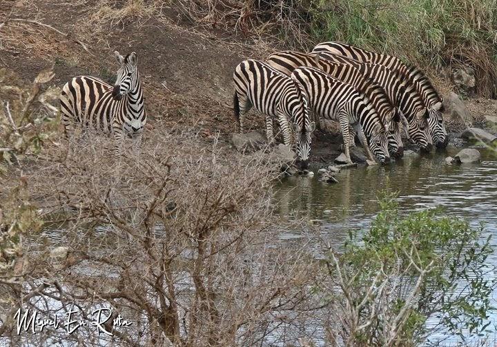 Cebras-Sabie-River-kruger