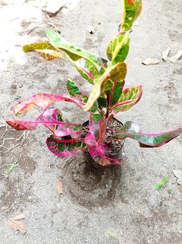 bibit tanaman hias bunga puring kirana merah Nusa Tenggara Timur