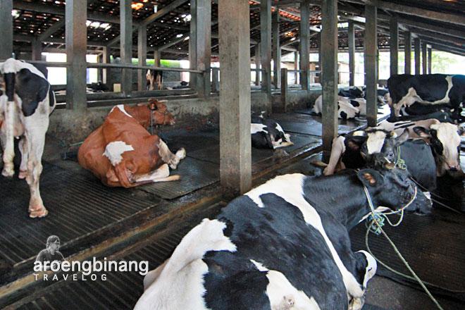 wisata susu cibugary pondok ranggon