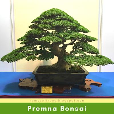 Premna Bonsai