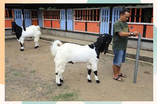 foto-kambing-etawa-dalam-penangkaran
