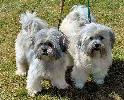 Lhasa Apso Dog Breeding