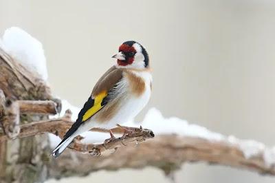 الشامل لمعرفة التفريق بين ذكر و أنثى طائر الحسون