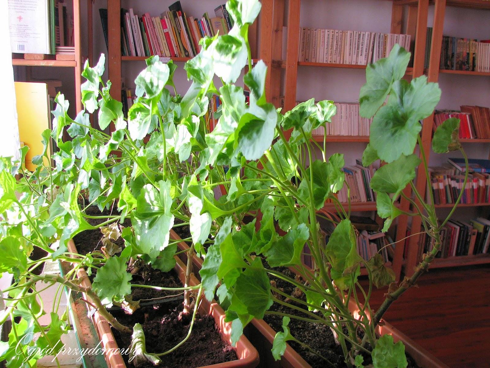 zimowanie roślin w domu, ogród za grosze, zimowanie pelargonii w domu, zimowanie pelargonii, ogród przydomowy
