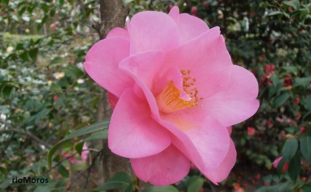 Flor de CAMELIA BRIGADOON Camellia x Williansii Brigadoon