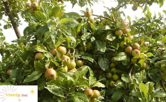 'Hỏi đáp' - Mùa lấy quả táo mèo tươi khó như thế nào? 1kg giá táo mèo khô tại Hà Nội?