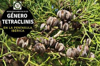 El género Tetraclinis familia Cupresáceas. Arboles de pequeña talla que alcanzan una altura de 5 a 15 m