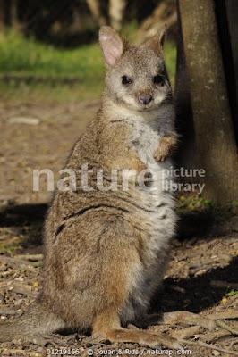 Wallaby parma (Macropus parma)