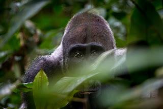 Congo Brazzaville African Experience safari gorila