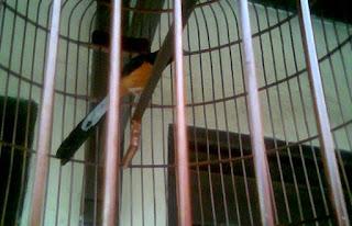 Dengan Melakukan Proses Penjinakan Burung