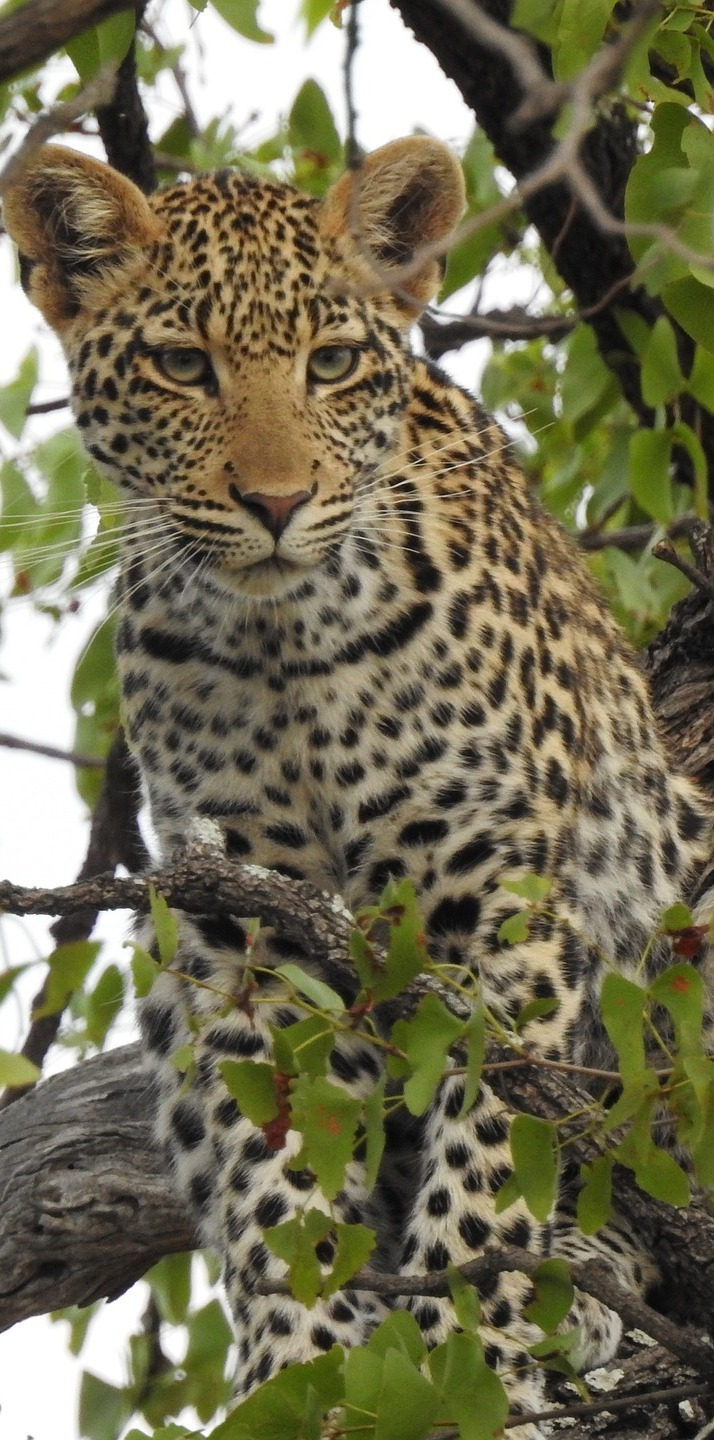 Leopard on a tree branch.