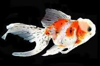 Jenis Ikan Koki Orando warna cantik