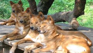 manada de perros dingos