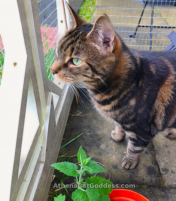 tabby cat in catio