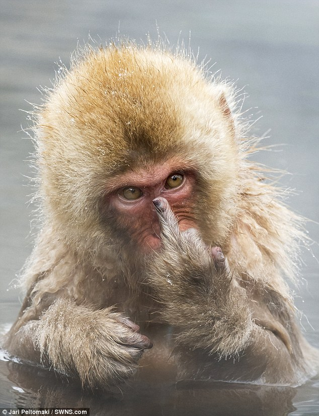Monkey angry, posted on Tuesday, 12 April 2016