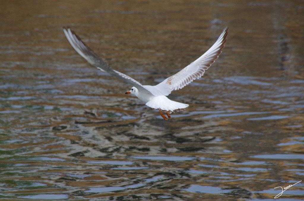 Gaviota reidora, volando sobre las aguas del río Segre