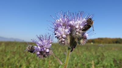 Blühende Blumen mit Bienen im Oktober