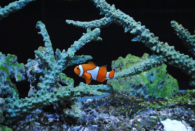 Lifespan of clownfish