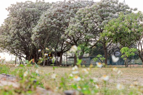 彰化大肚溪棒壘球場苦楝樹步道,淡紫色花朵清香撲鼻,散步好去處