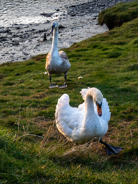 Photo of a swan and cygnet by the River Ellen