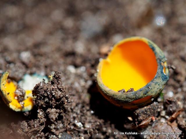 kielonki, caloscyphe fulgens, kieloneczka, grzyby gatunkami, atlas grzybow, grzyby wiosenne, grzybek, zolte grzybki, czareczki, prosto z lasu, grzybnieta, rzadki gatunek grzyba