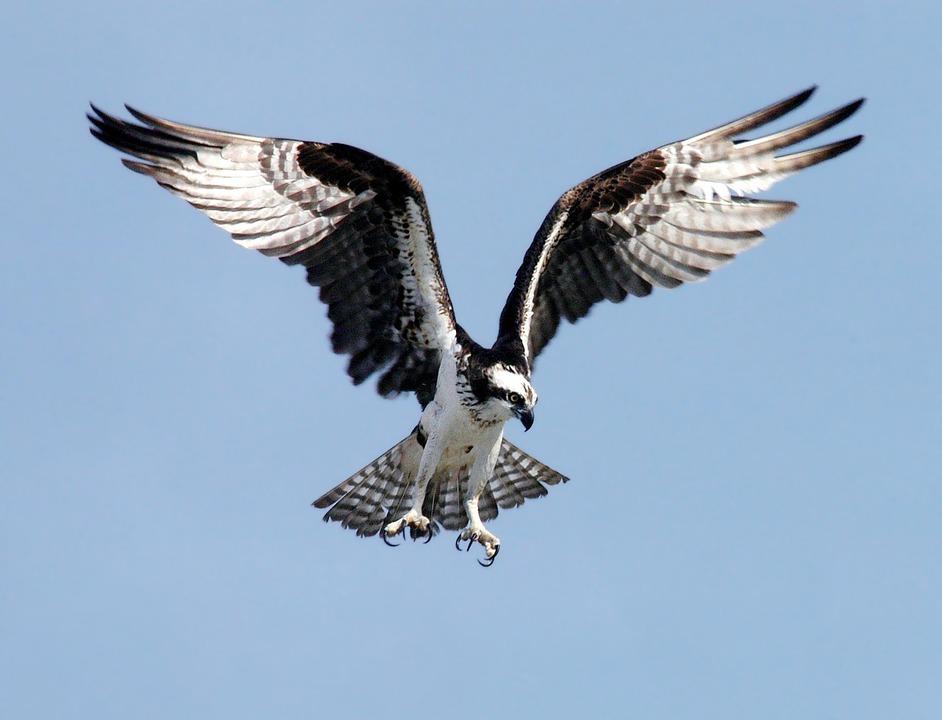 कैकर या ओस्प्रे पक्षी के बारे में रोचक जानकारी,Interesting Facts and Information about Ospreys birds in Hindi,Amazing facts about Ospreys in Hindi - कैकर(Osprey) पक्षी के बारे में रोचक तथ्य