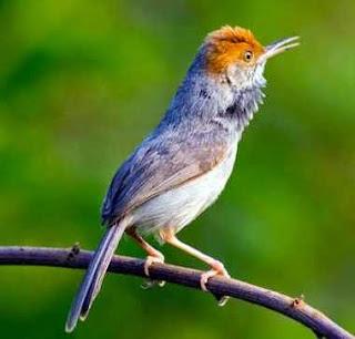 Burung Ciblek - Metode Pemasteran Burung Berkicau (Burung Ciblek) - Penangkaran Burung Ciblek