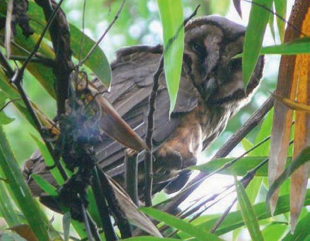 merupakan salah satu burung hantu endemik Indonesia yang mempunyai nama latin  Mengenal Burung Hantu Serak Taliabu