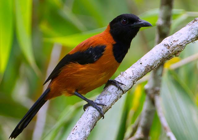 Gambar Burung Pitohui beracun dari Papua Nugini