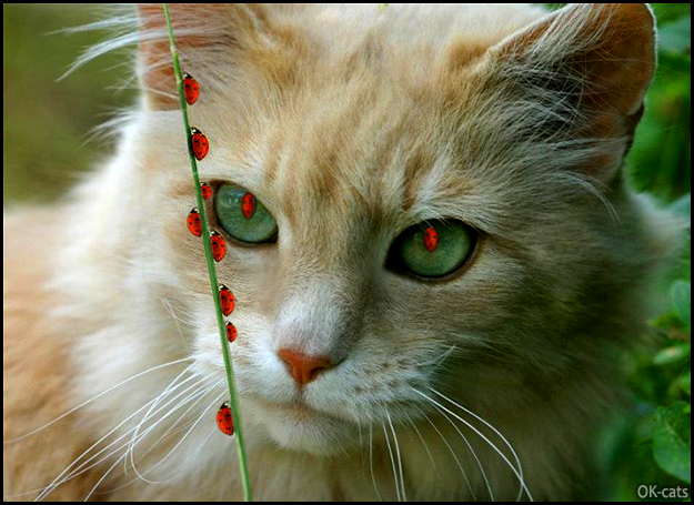 Photoshopped Cat picture • Funny Cat looking at busy ladybugs. He no longer has pupils, now he has ladybug pupils, haha!