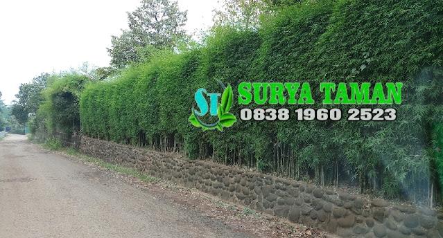 Jual Bibit Tanaman Bambu Jepang Pagar di Bandung - SuryaTaman