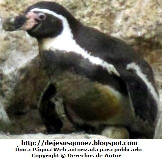 Pingüino hembra cuidando su huevo - Parque de las Leyendas. Foto de una Pinguino hembra tomada por Jesus Gómez