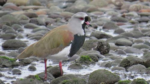 Queltehue (Vanellus chilensis). Pelluco, Puerto Montt.