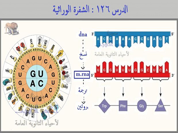 الشفرة الوراثية genetic code - الثالث الثانوى