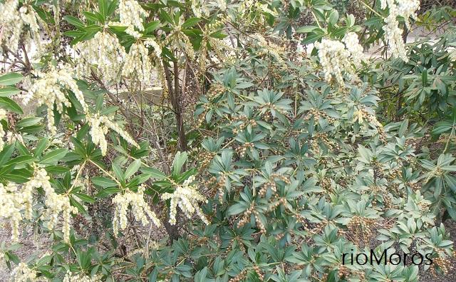 Arbusto Pieris japonica, andrómeda