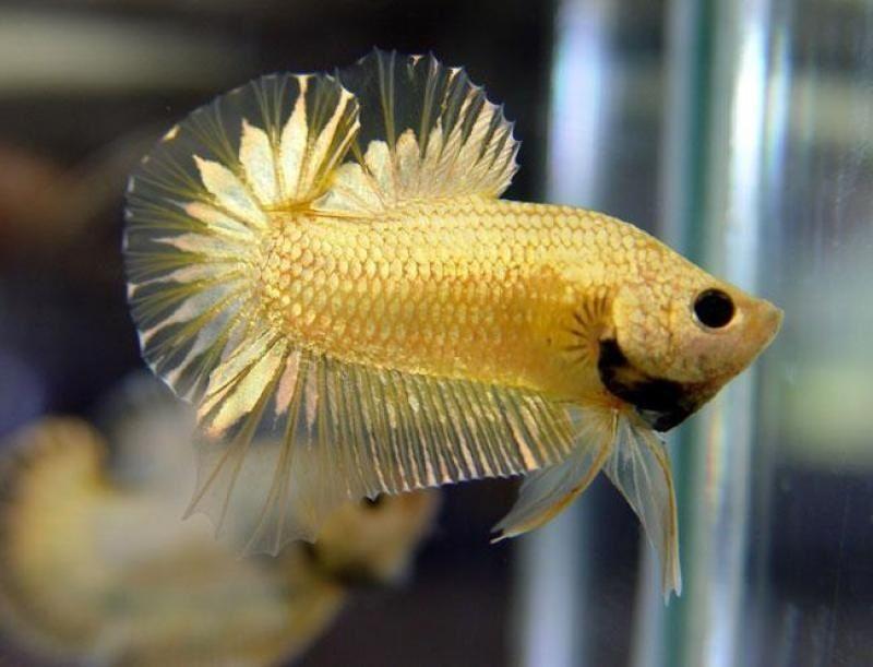 Image Gold Betta Fish