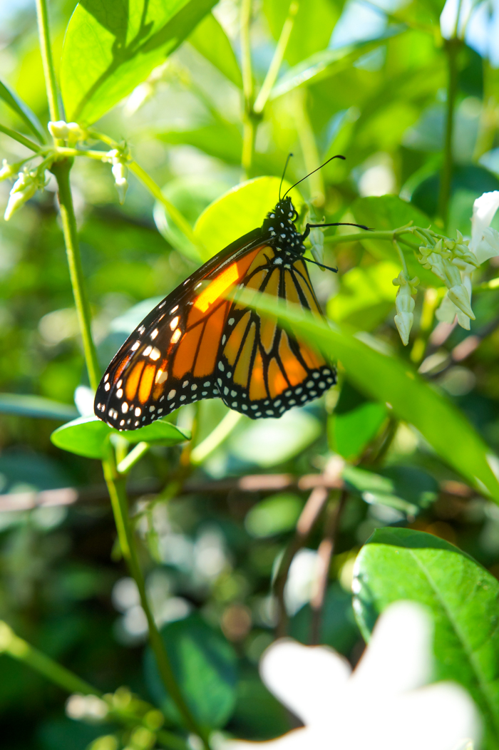 monarch butterfly in jasmine