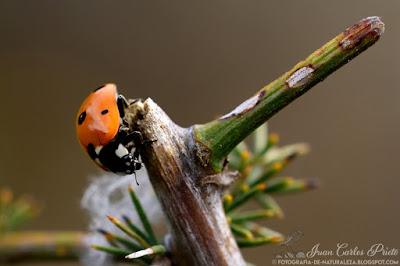 Coccinella Septempunctata - Conchita de siete puntos (fotografia-de-naturaleza.blogspot.com)