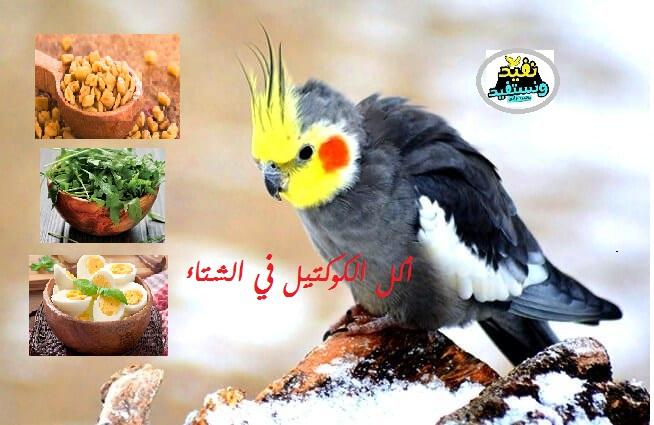 الأكل المفضل تقديمه لعصافير الكوكتيل في الشتاء