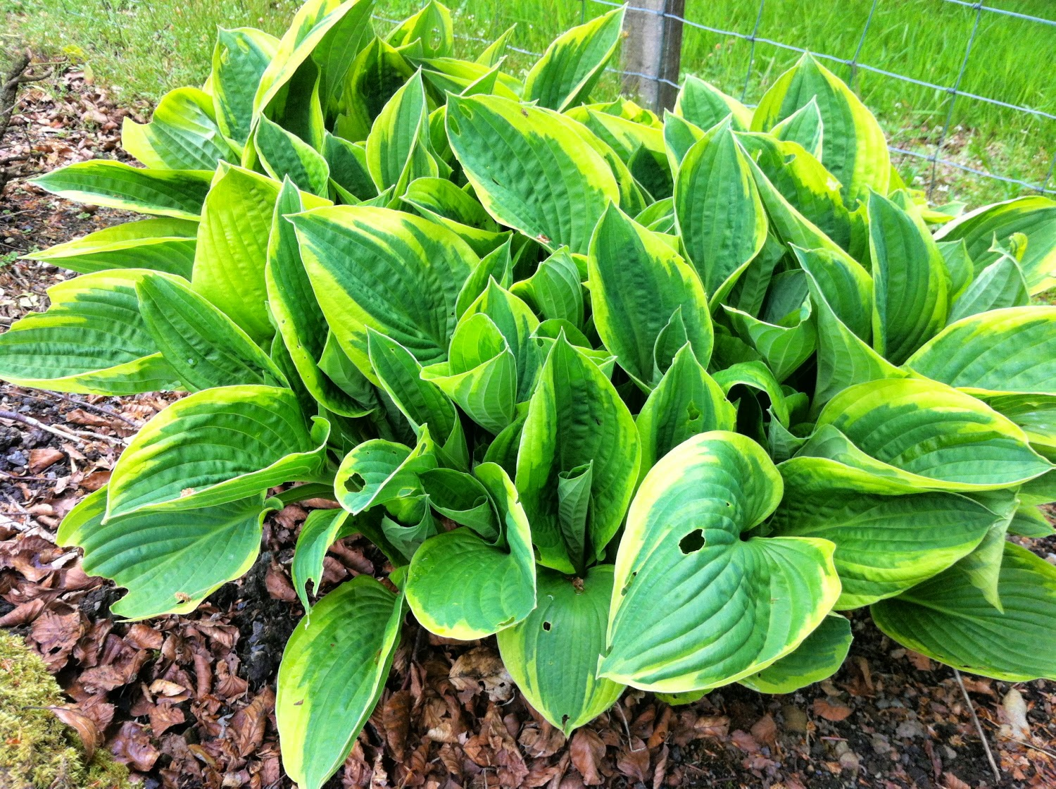 An image of hosta leaves