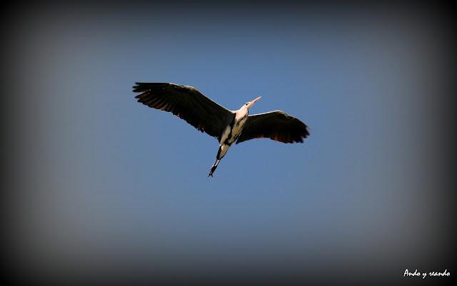Garza real sobrevolando la laguna de Ruidera