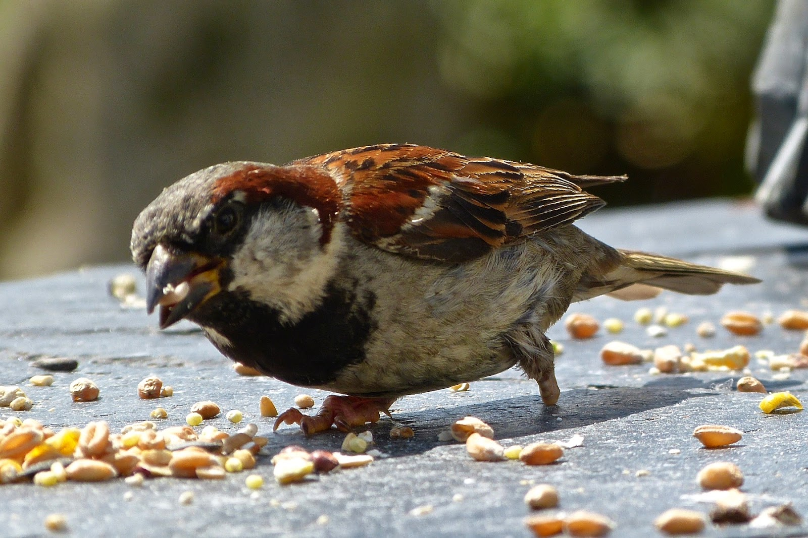 Can Ducks Eat Normal Bird Food
