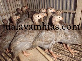 Ayam Mutiara Usia 1 Bulan